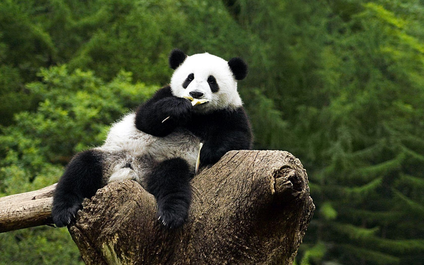 Panda Bear Wallpapers 1680x1050
