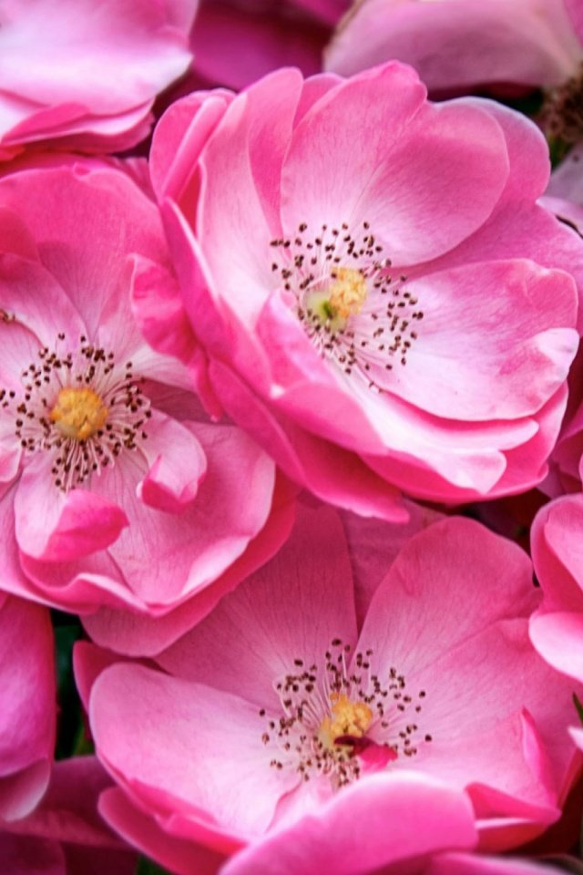 Beautiful Wild Roses Mobile Wallpaper   Mobiles Wall 640x960