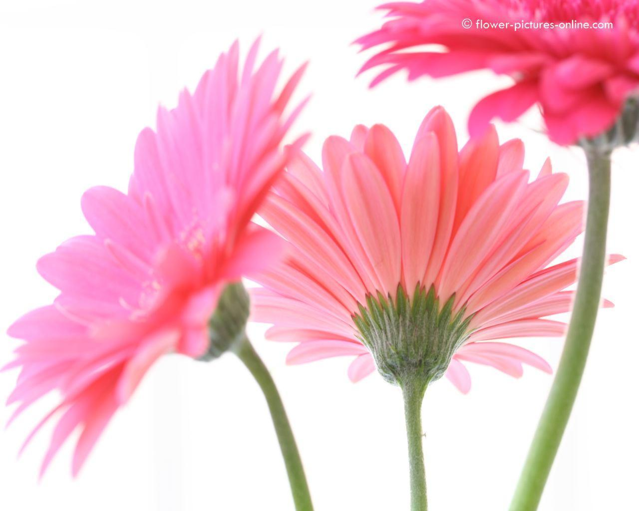 Gerbera Daisies Wallpapers 1280x1024