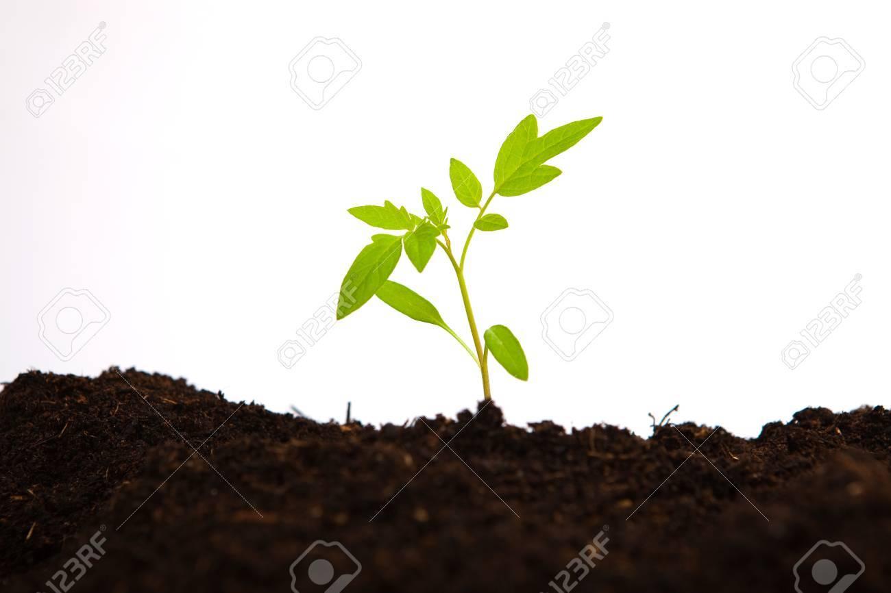 Young Tomato Sapling In Soil Ground White Background Stock Photo 1300x866