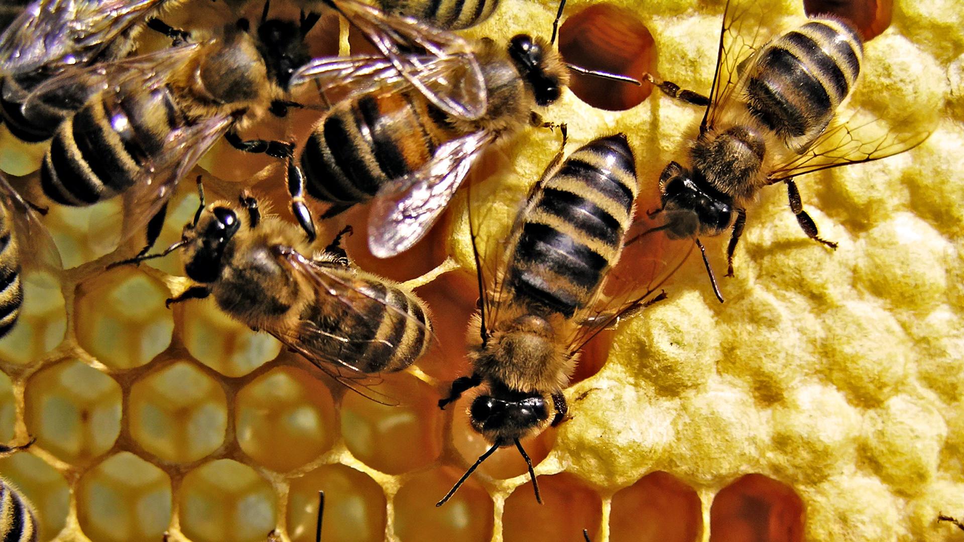 Bees animal bee close up honey honeycomb yellow 1920x1080