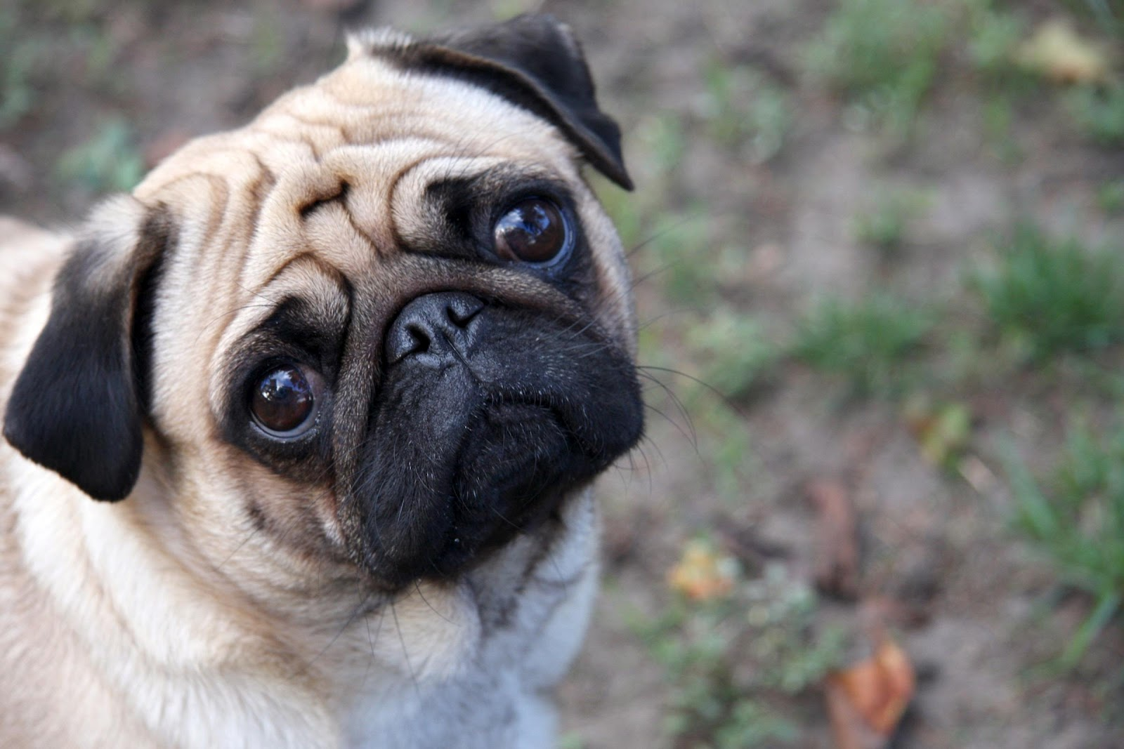 All Wallpapers Pug Dog Hd Wallpapers 1600x1067