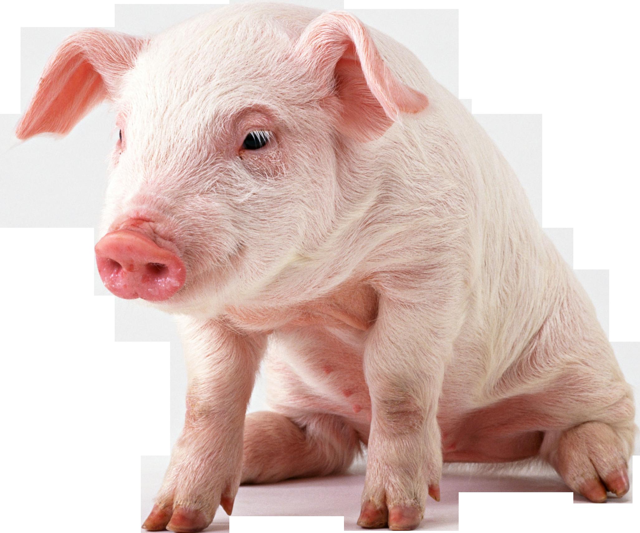 43 Pigs Wallpaper On Wallpapersafari