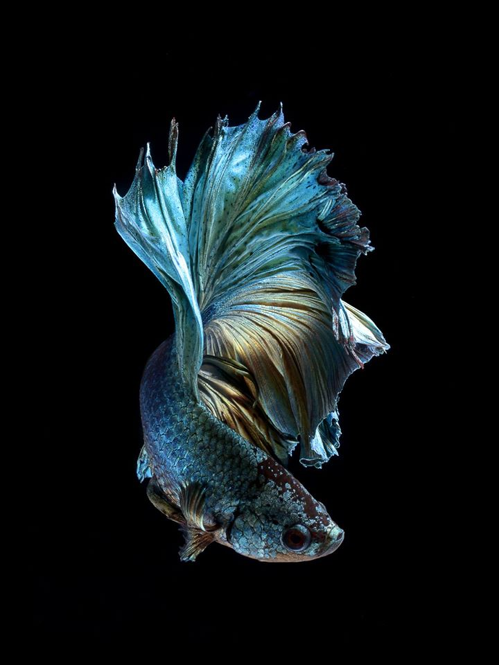 iPhone 6S announced with Betta Background   Live tropical fish 720x960