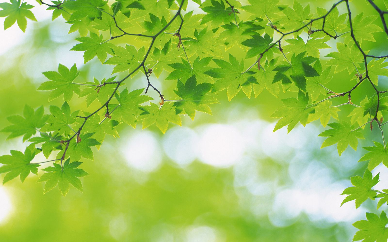 Green Leaves and Green Backgrounds 1600x1000