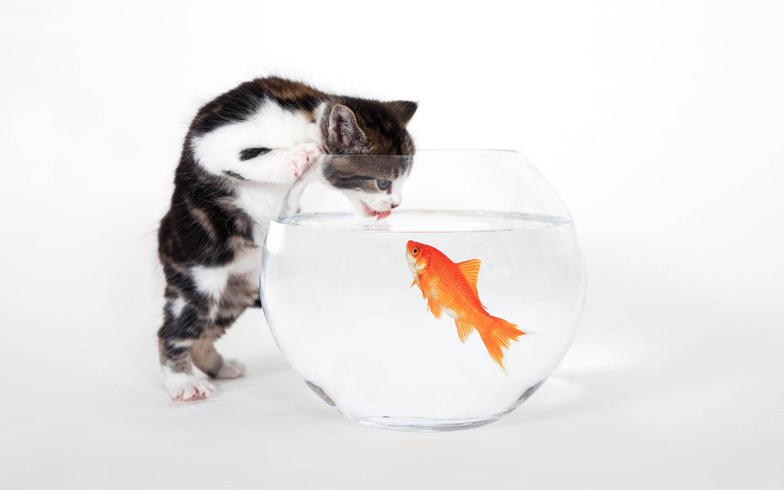 Cat and goldfish wallpaper 1600x1000