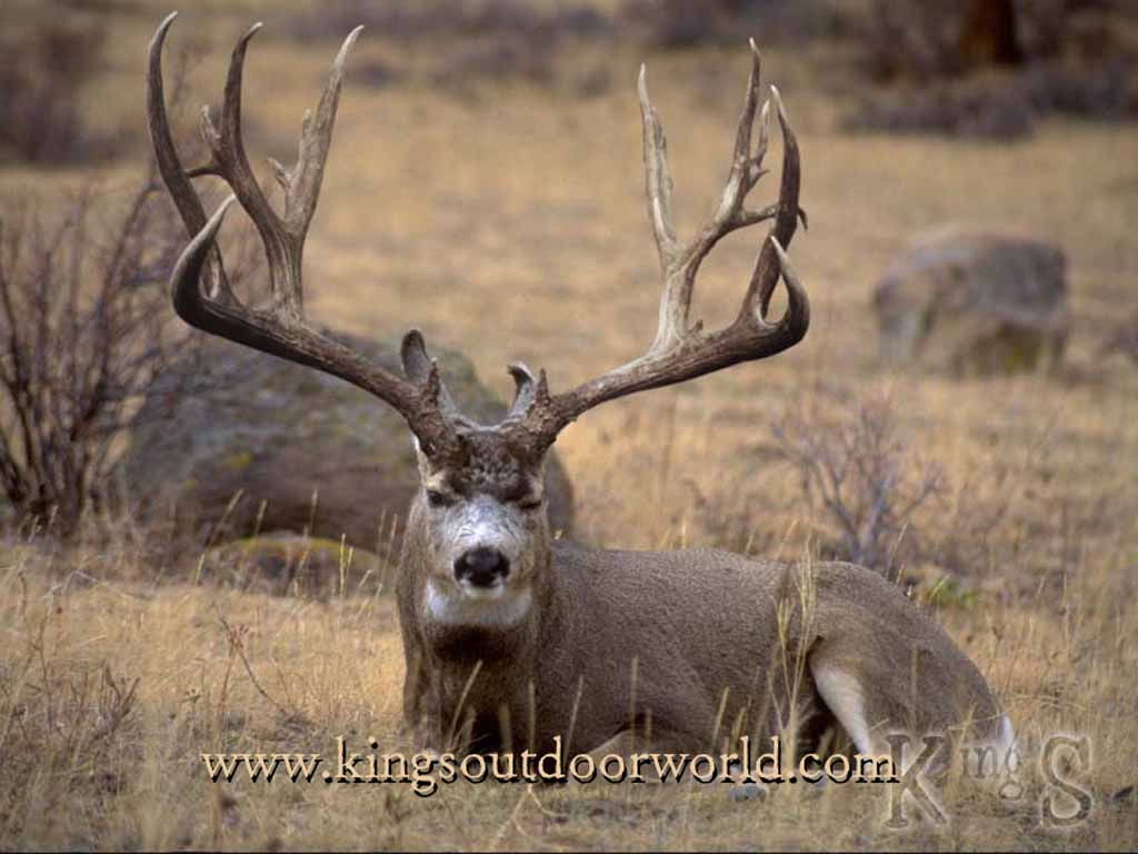 Big Foot Mule Deer Image Size Wallpaper 1024x768 Full HD Wallpapers 1024x768