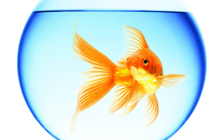 goldfish swimming aquarium round water reflection white background 2880x1800