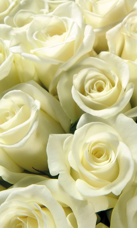 White Roses Live Wallpapers Live wallpapers HD for Android 480x800