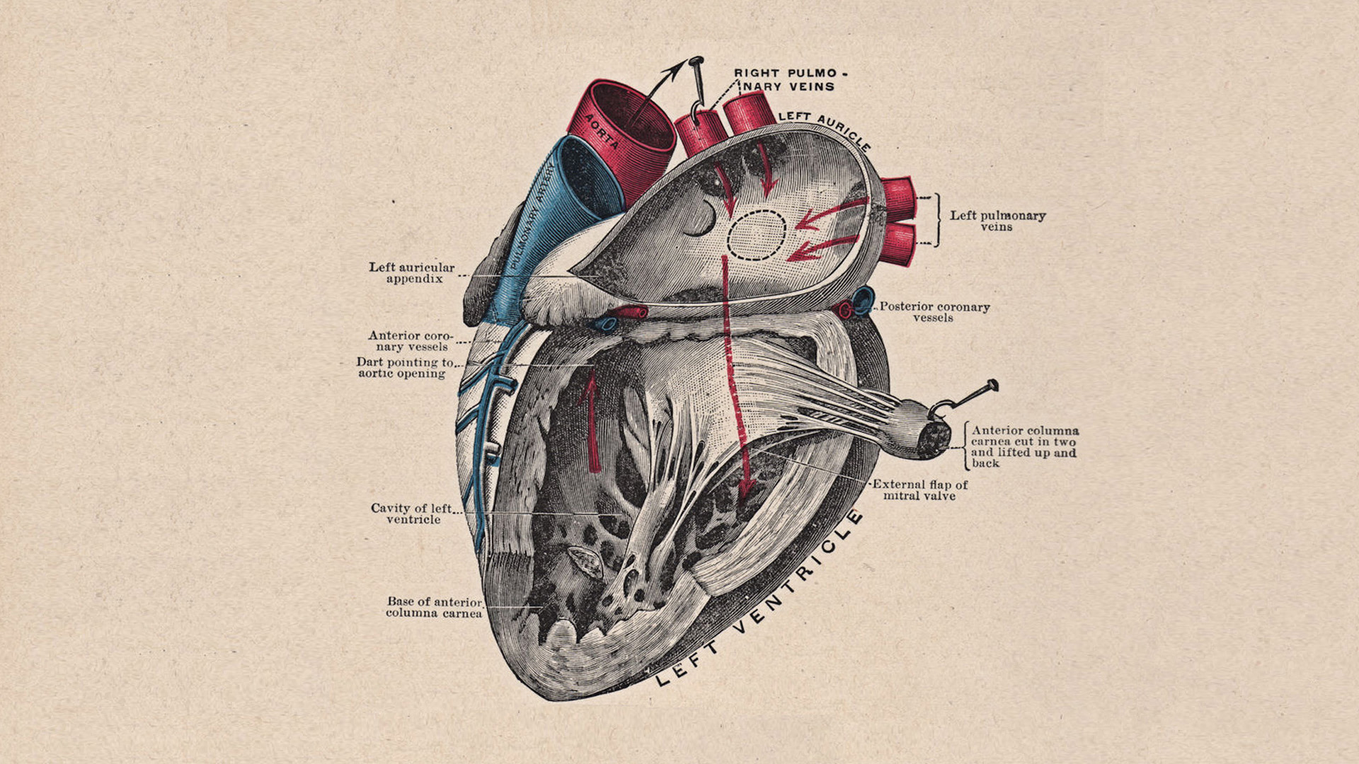 Heart Anatomy HD Wallpaper 1920x1080 ID58353 1920x1080