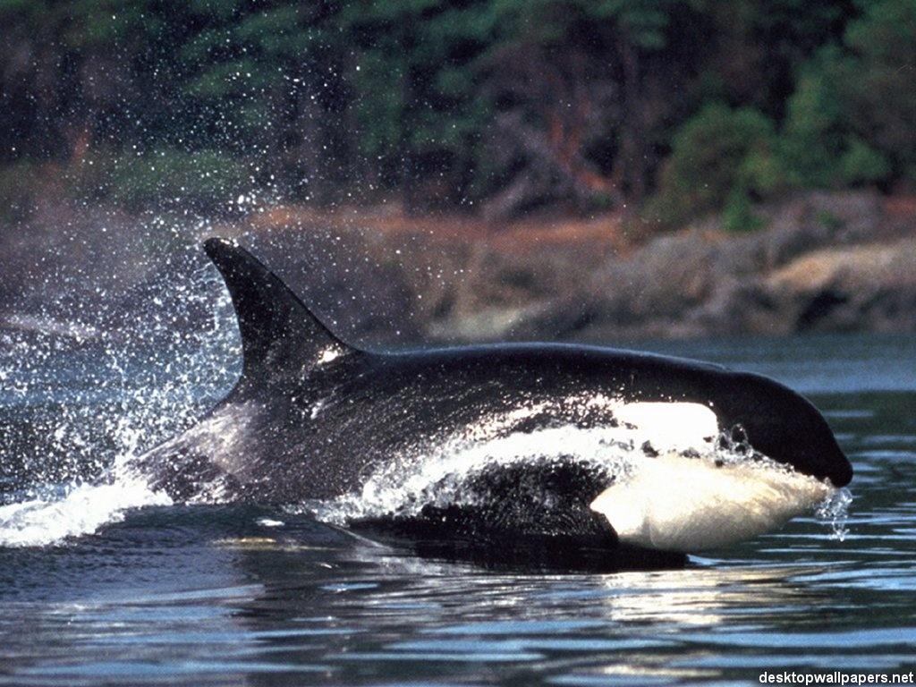 orca whale wallpaper   weddingdressincom 1024x768