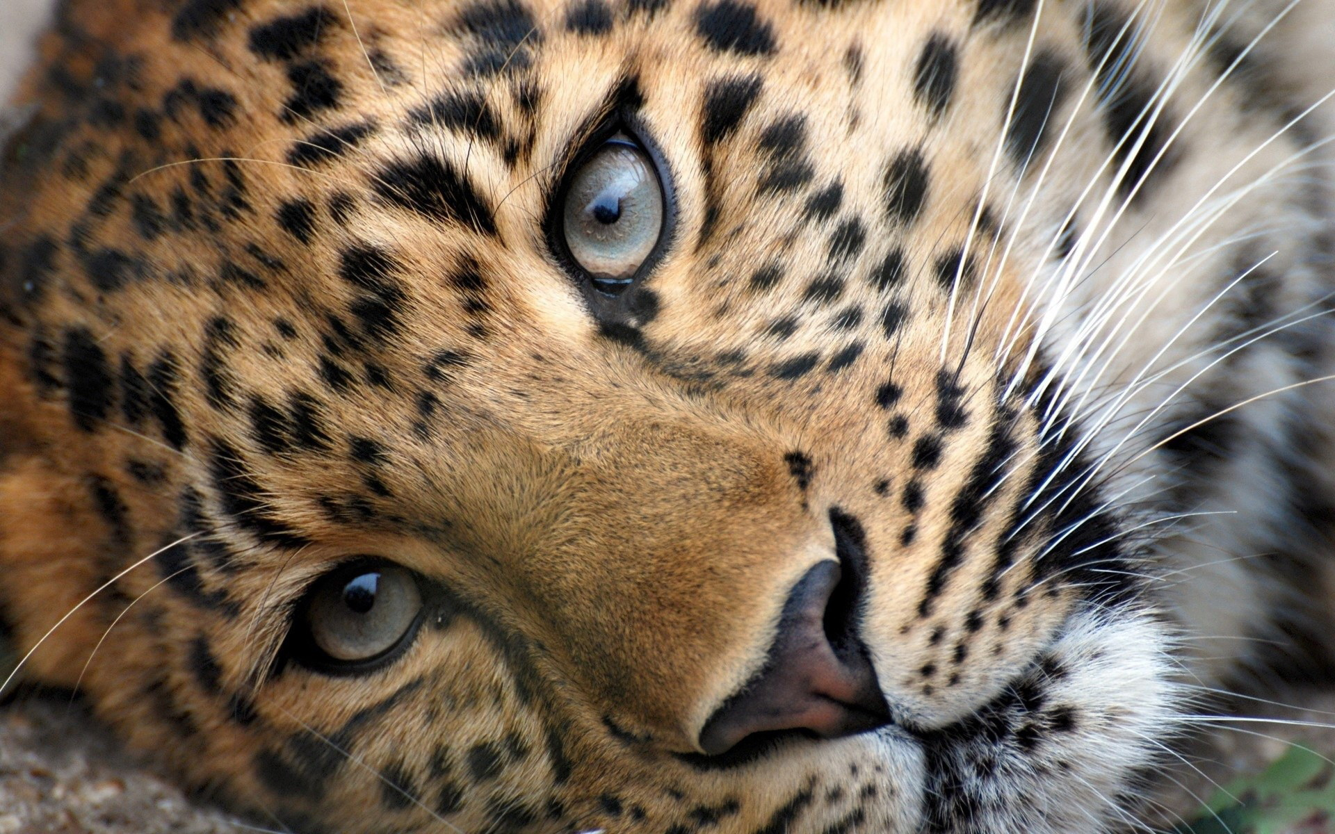 Big Cats   Wild Animals Wallpaper 34365420 1920x1200
