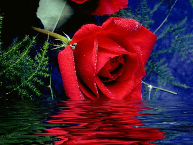 Pictures World beautiful red rose wallpaper 1024768 640x480