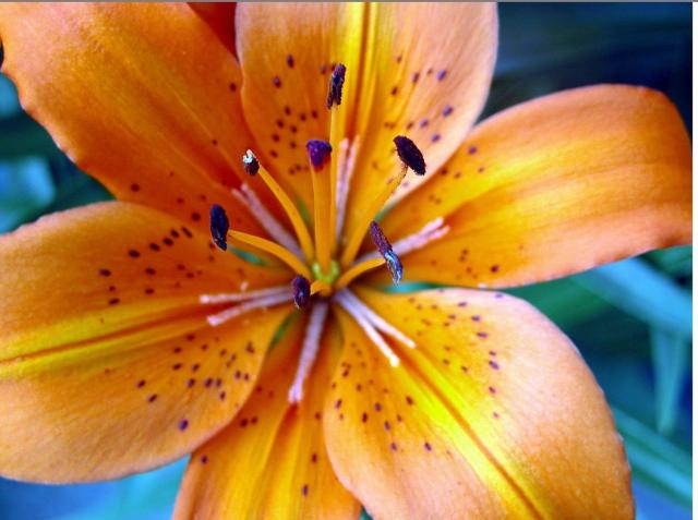 Tiger lily flower Amazing Wallpapers 640x477