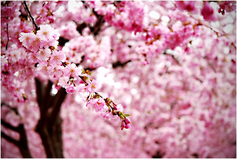 Cherry Blossoms Wallpaper Cherry Blossoms Desktop Background 804x540