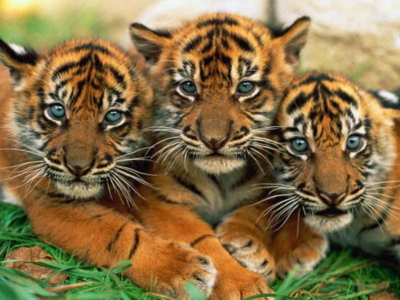 Funny wallpapersHD wallpapers cute tiger pictures 800x600