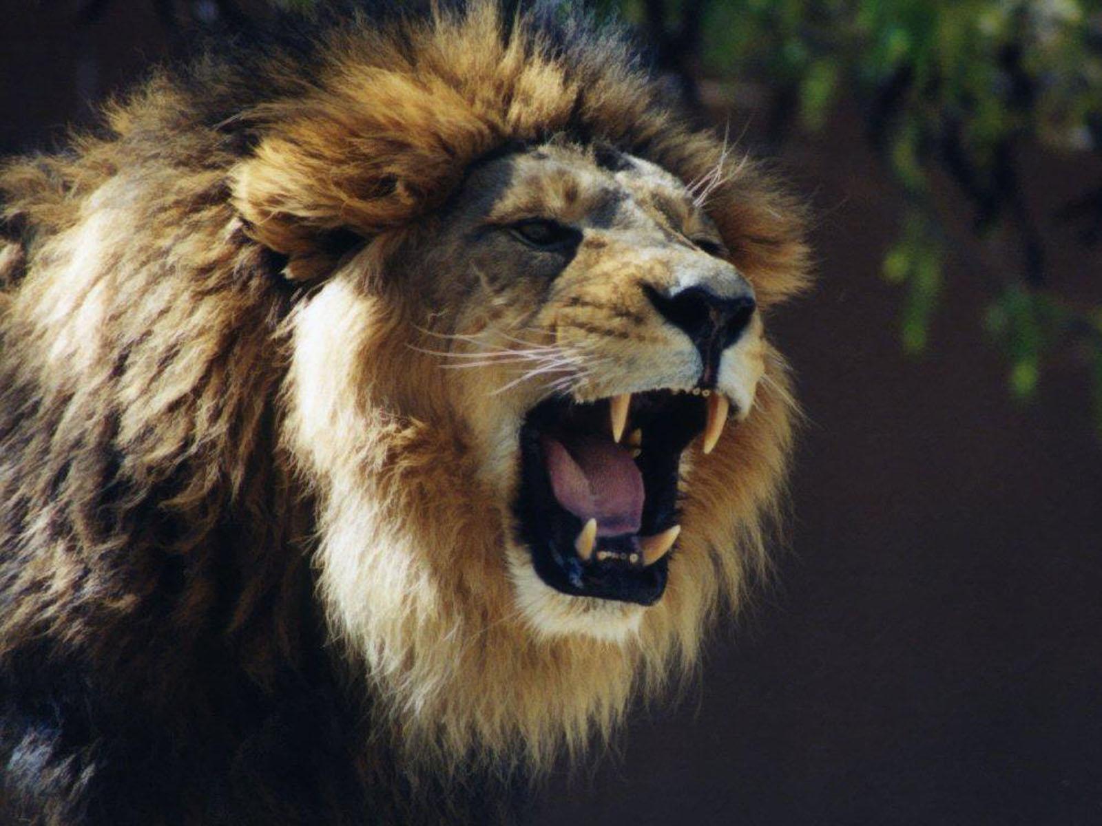 Roaring Lion Wallpaper - WallpaperSafari for Lion Roaring Gif  166kxo