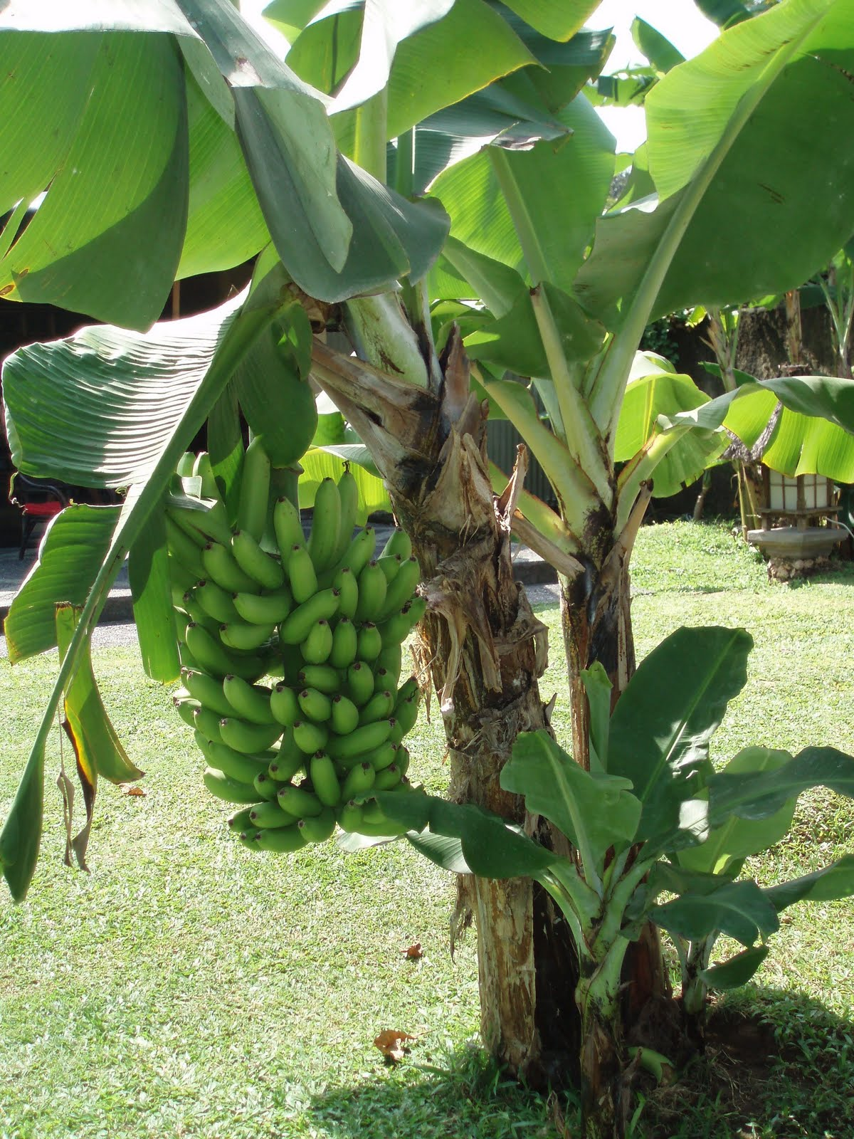 Plants Banana Tree 1200x1600