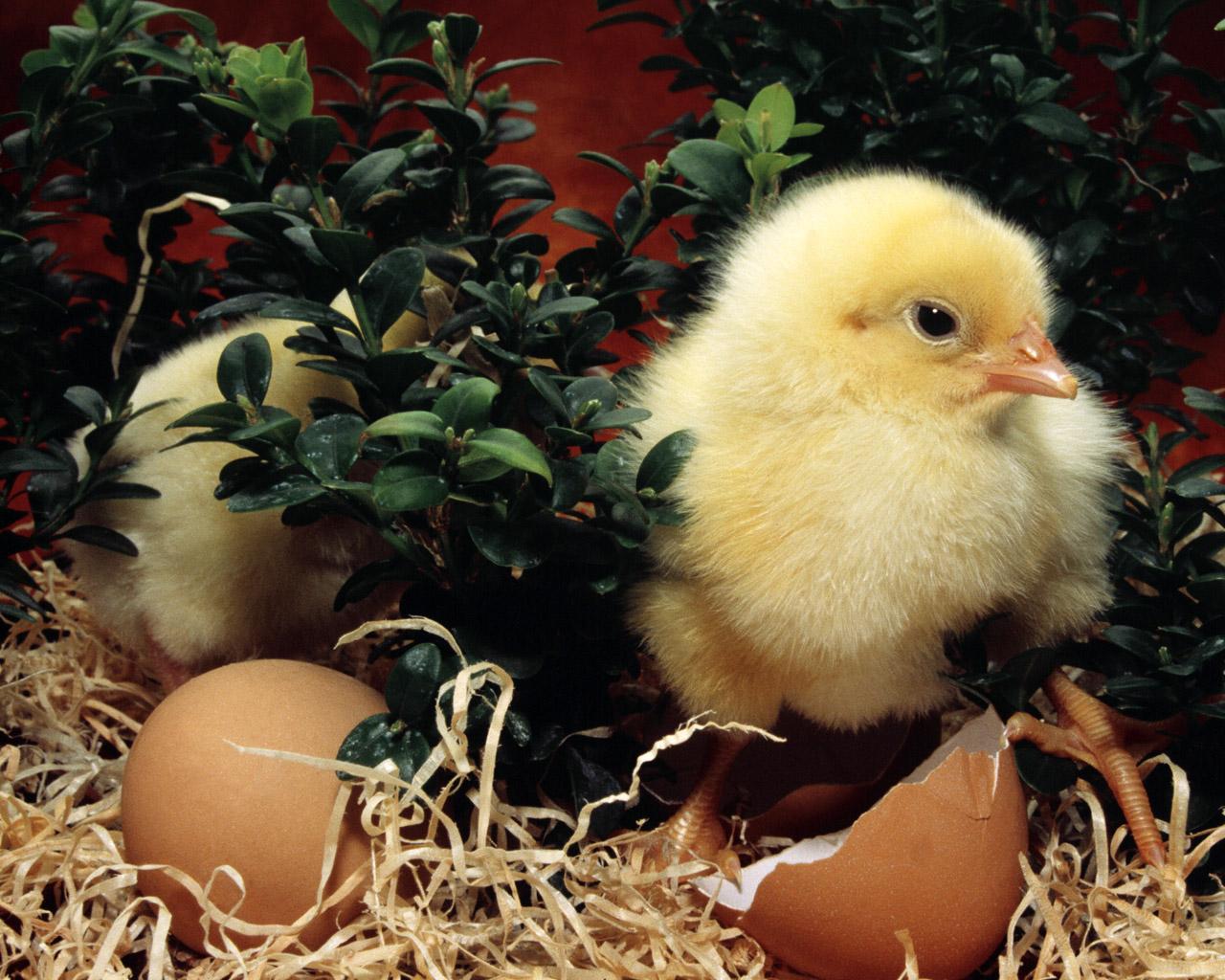 missed having chickens i love fresh eggs my boys didn t like chicken 1280x1024