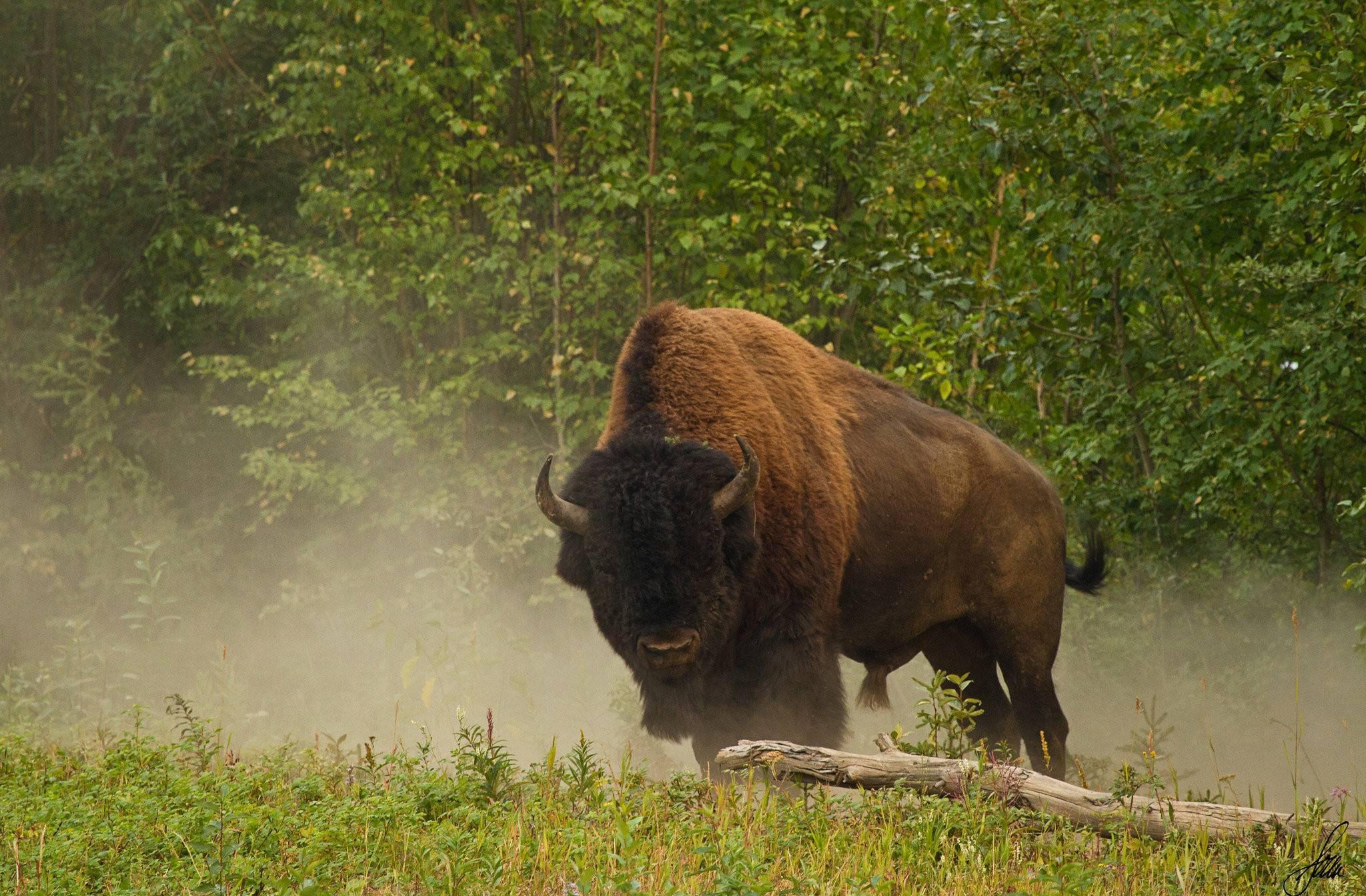 Animals Buffalo 20481344 Wallpaper 2311047 2048x1344