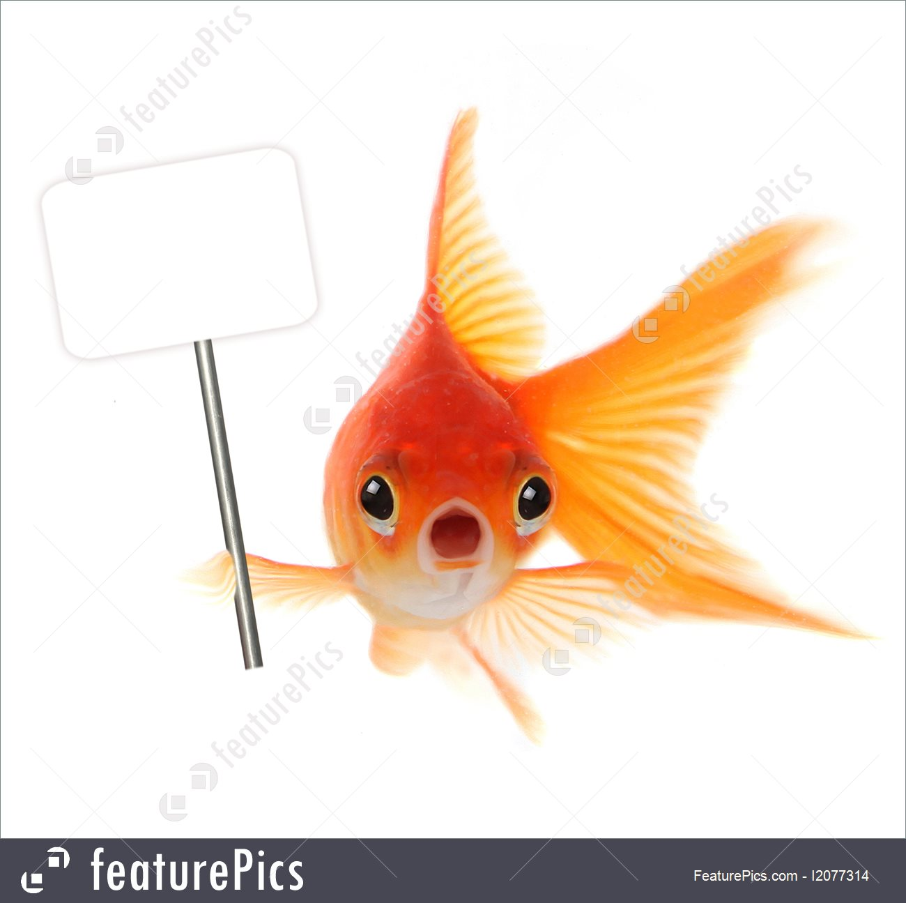 Templates Shocked Goldfish Isolated On White Background   Stock 1300x1295