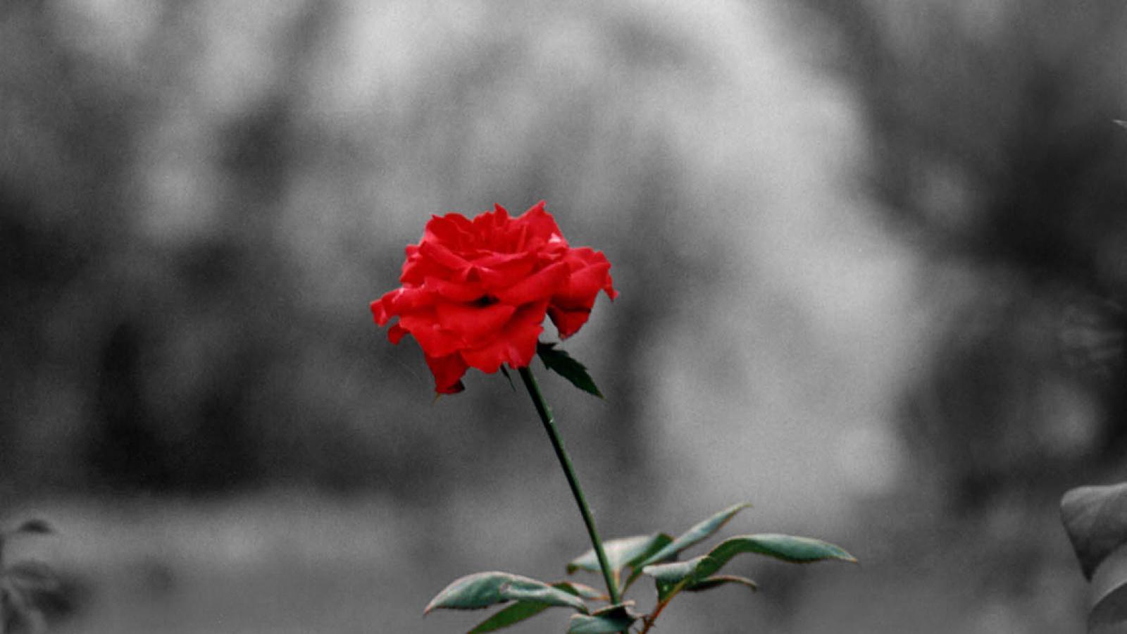 Coloring Color Splash Roses Pink Rose Wallpaper Short News Poster 1600x900