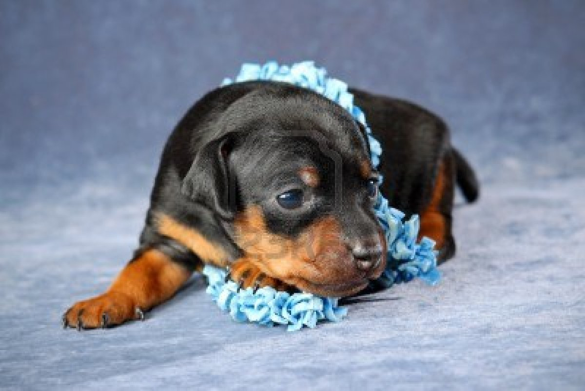 Pics Photos   Miniature Pinscher Puppies Cute Funny And 1200x801