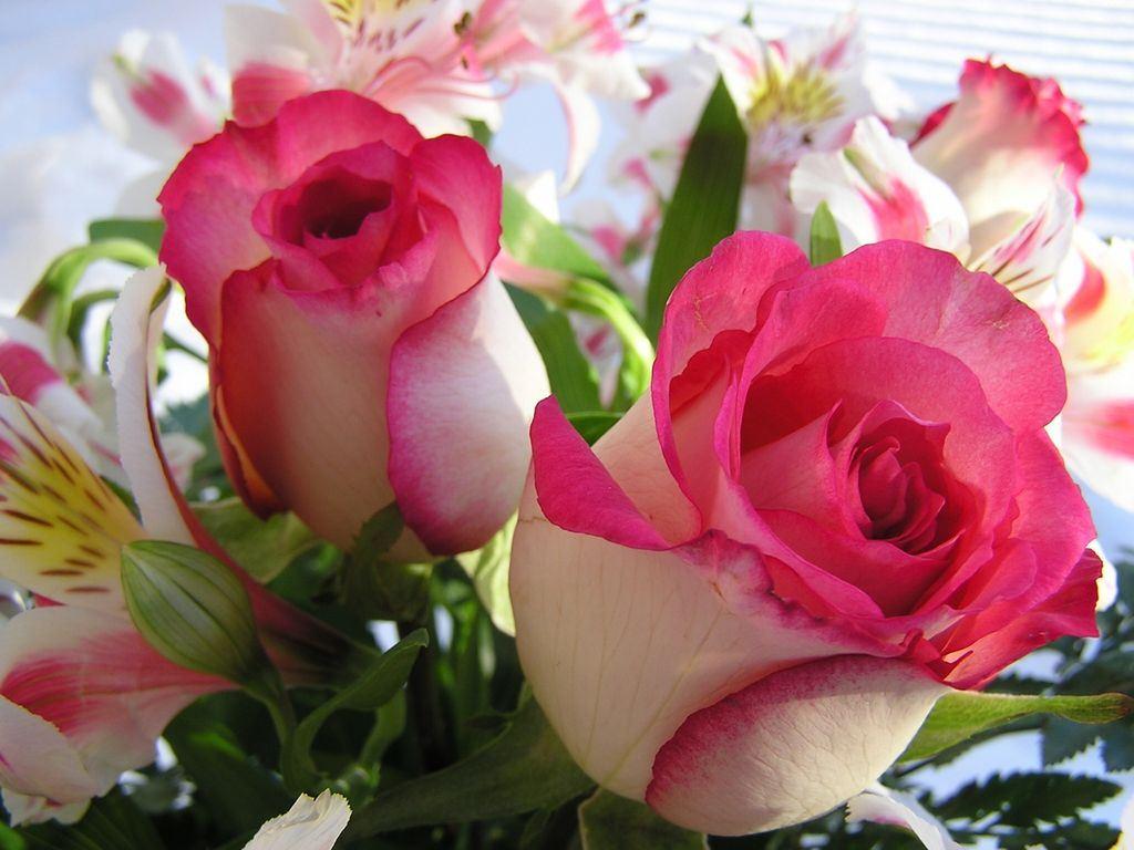 roses wallpapers for desktop Rose Wallpapers 1024x768