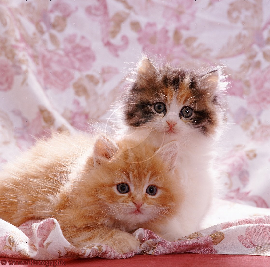 Very cute kitten wallpaper wallpapersafari cute dogspets cute cats and kittens pictures and wallpapers 1118x1104 thecheapjerseys Gallery