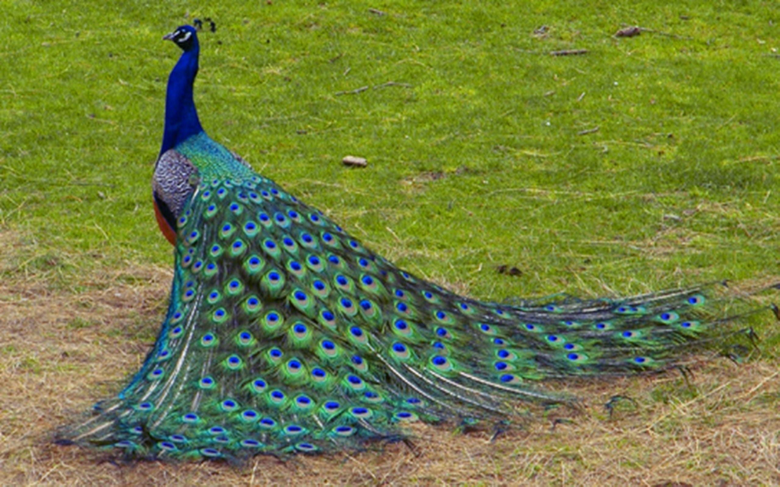 Beautiful Peacock Bird HD Desktop Wallpaper Background HD Wallpapers 2560x1600