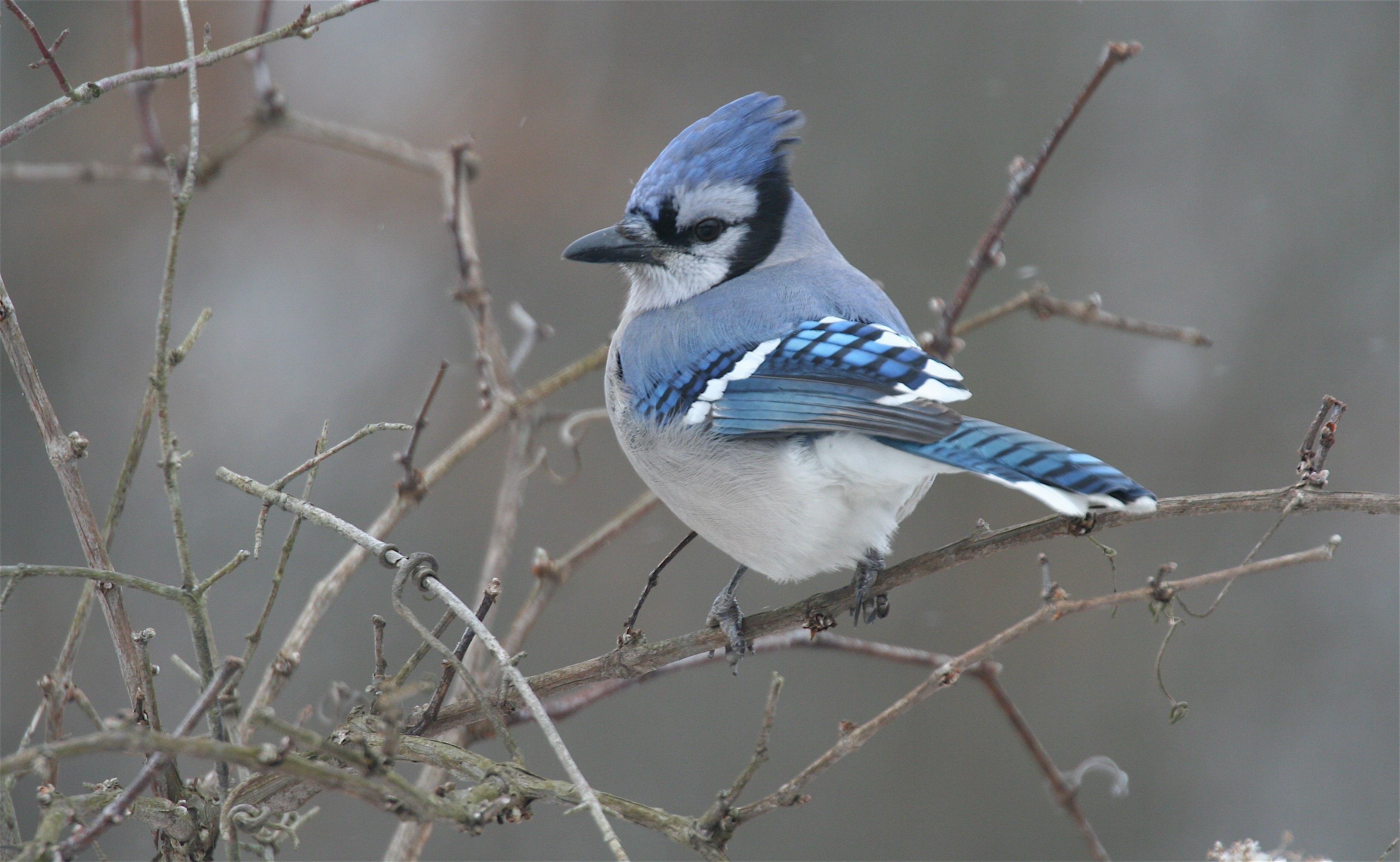birds blue jay HD Wallpaper   General 233353 3296x2029