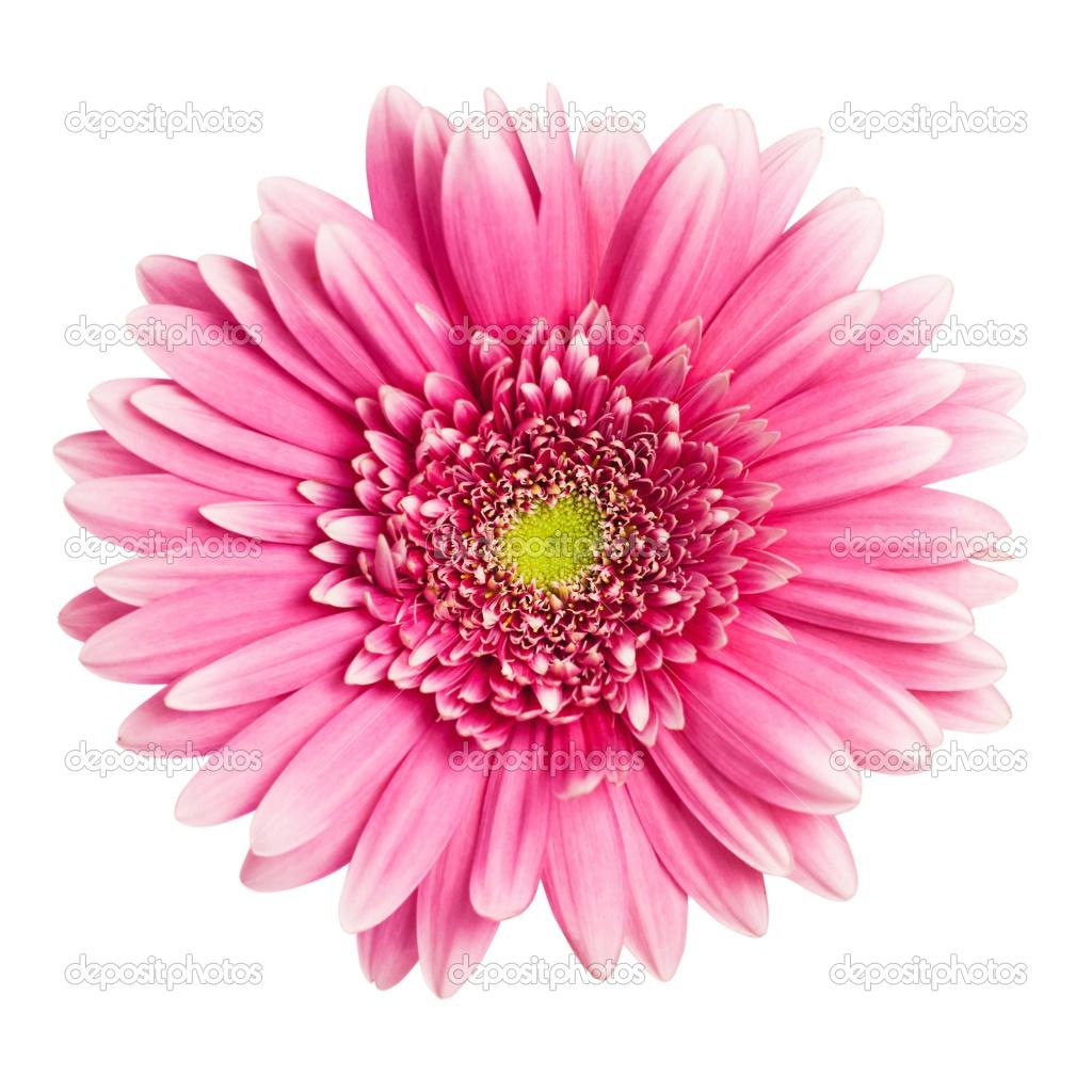 pink flower white background wallpapersafari