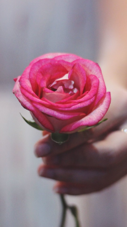 Pink Rose In Hand Wallpaper   iPhone Wallpapers 540x960