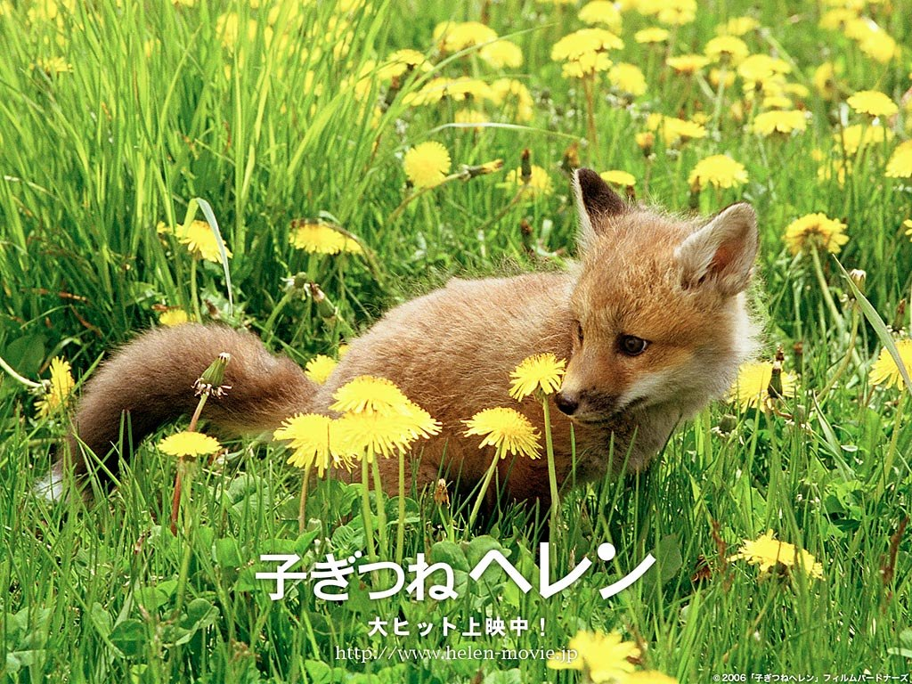 Displaying 13 Images For   Baby Fox Wallpaper 1024x768