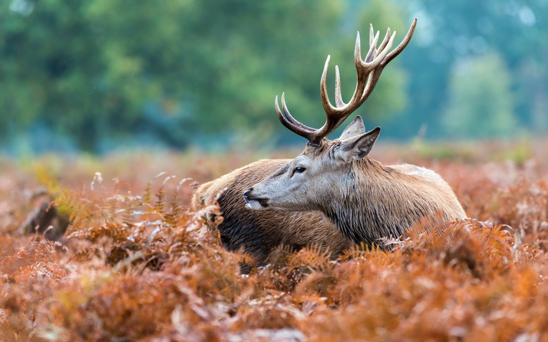 Home Animals HD Wallpapers Deer Animals Bokeh Field 1920x1200