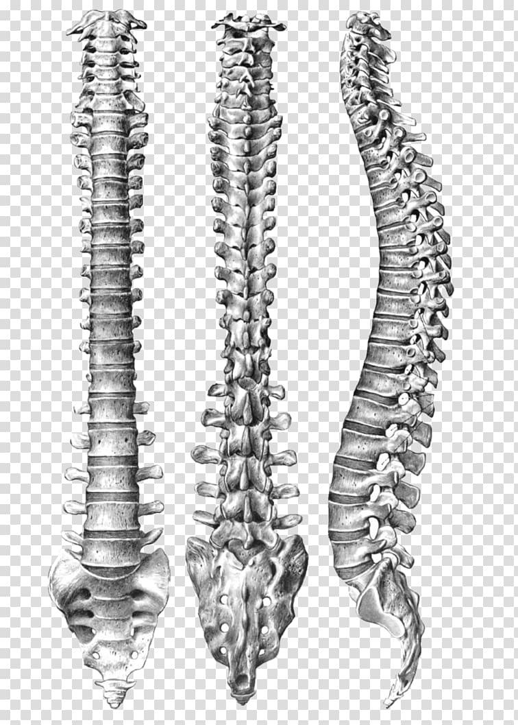 Human vertebral column Spinal Anatomy Human body vertebral 756x1057