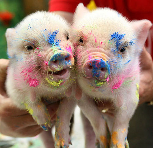 Mighty Lists 14 cute pigs 500x483