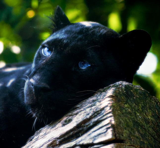 [46+] Black Panther Blue Eyes Wallpaper On WallpaperSafari