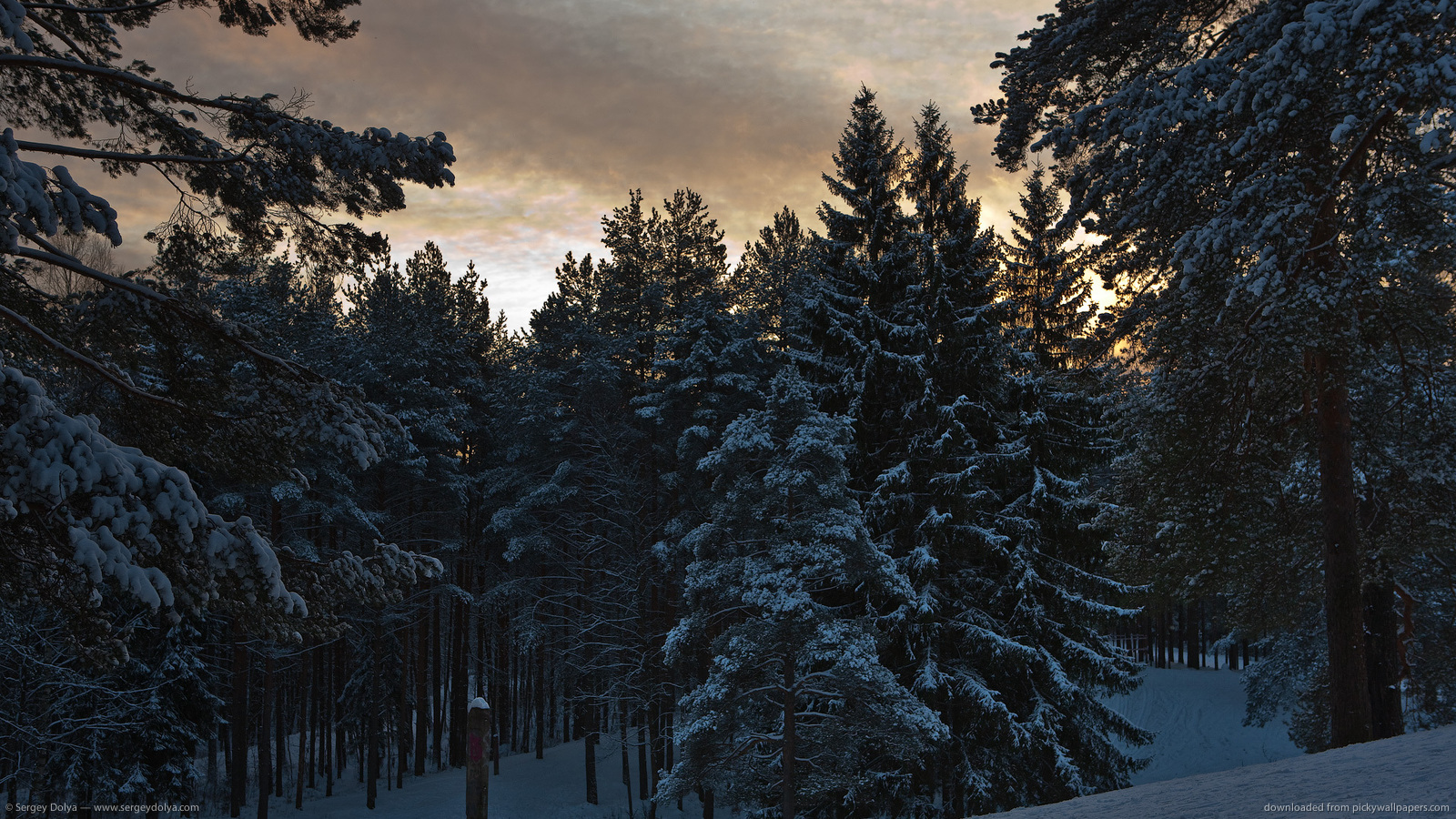 Download 1600x900 Snowy Pine Trees Wallpaper 1600x900