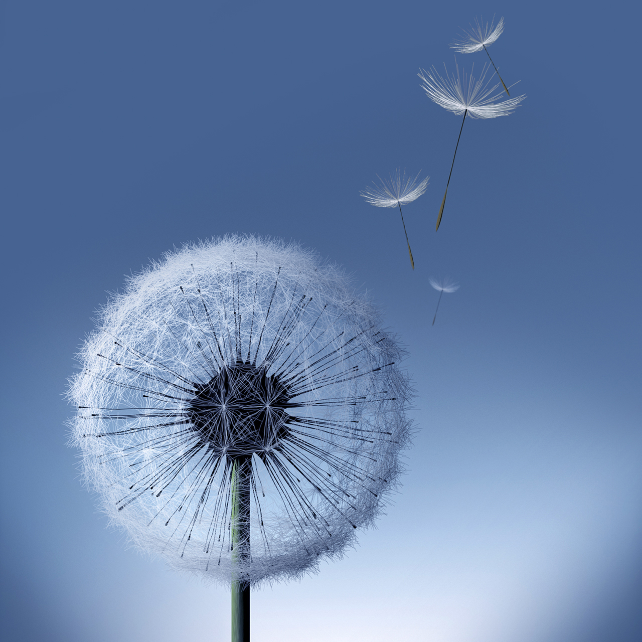 Galaxy S3 Dandelion   HD Wallpapers   Galaxy S3 Dandelion 1280x1280