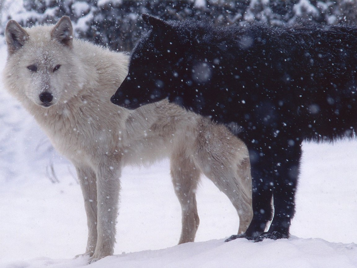 Free Download White Wolf Wallpaper 11125 Hd Wallpapers In Animals Imagescicom 1152x864 For Your Desktop Mobile Tablet Explore 42 White Wolf Hd Wallpaper Black Wolf Wallpaper Images Of Wolves For Wallpapers