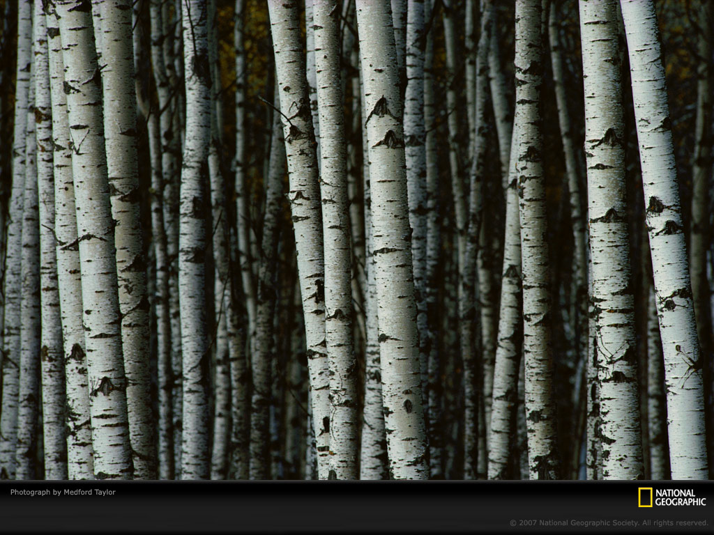 SS   White Birch Trees I picked up my current wallpaper from the 1024x768
