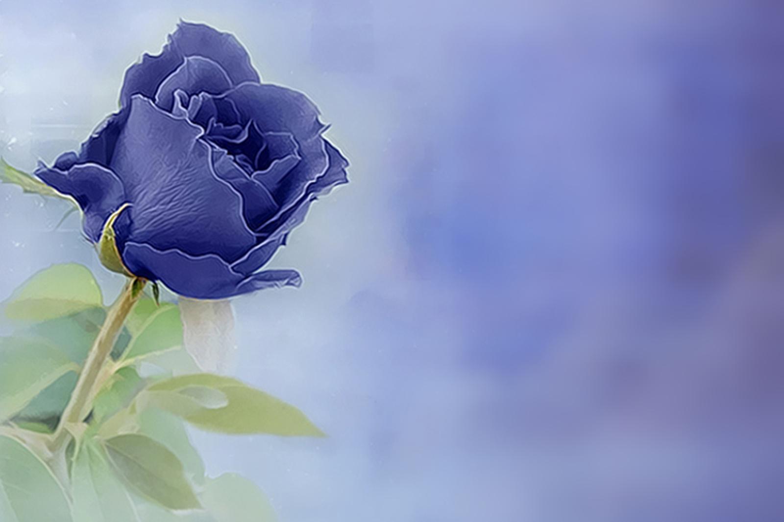 blue rose wallpaper for desktop wallpapersafari