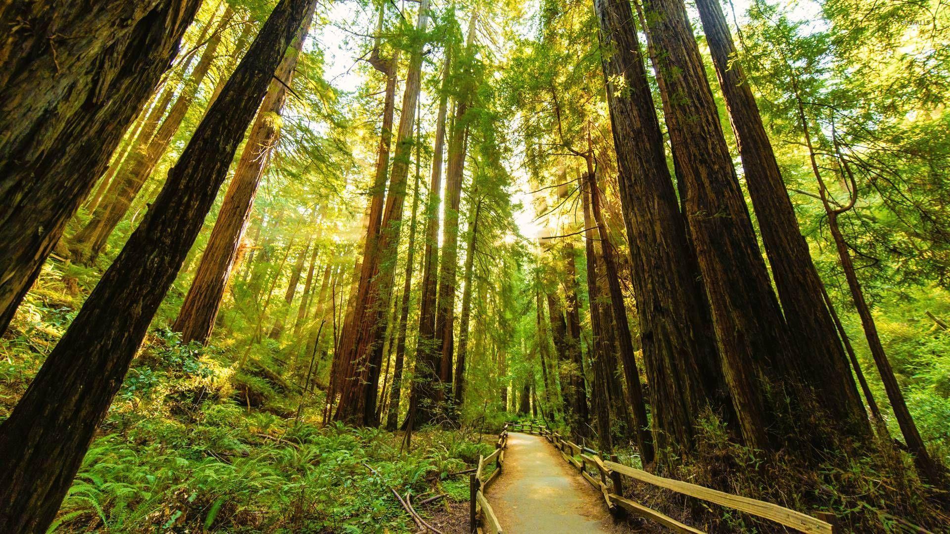 4k wallpaper nature redwoods - photo #43