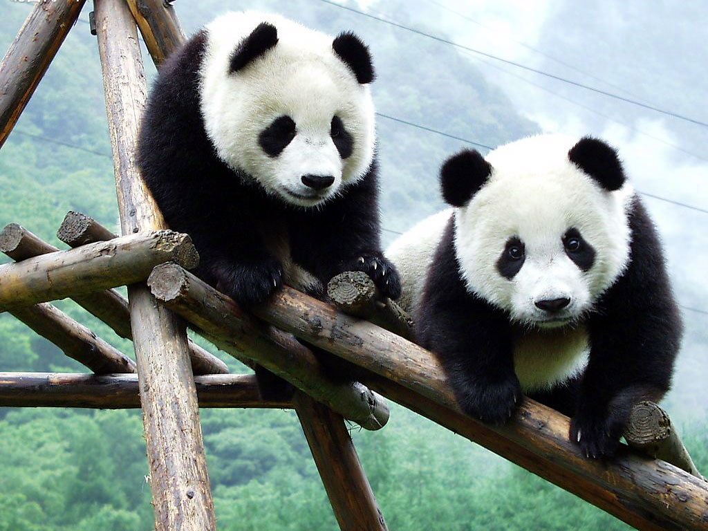 Panda Wallpaper   Cute Panda Bears Photos 1024x768