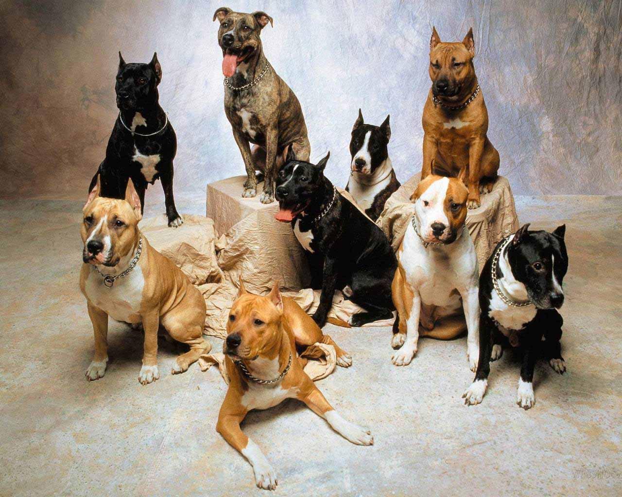 HD Wallpapers Pitbull Dog Wallpapers 1280x1024