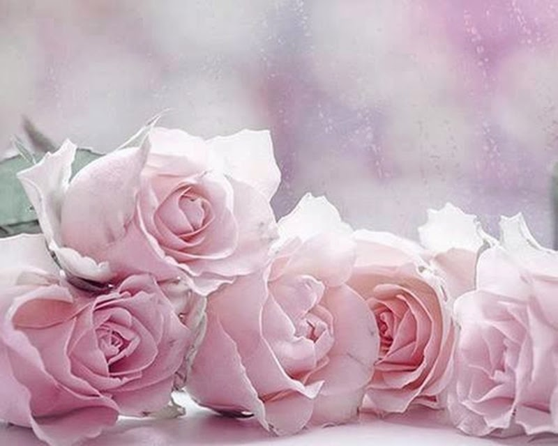 Light Pink Rose Flowers Images Pictures Online Wallpapers