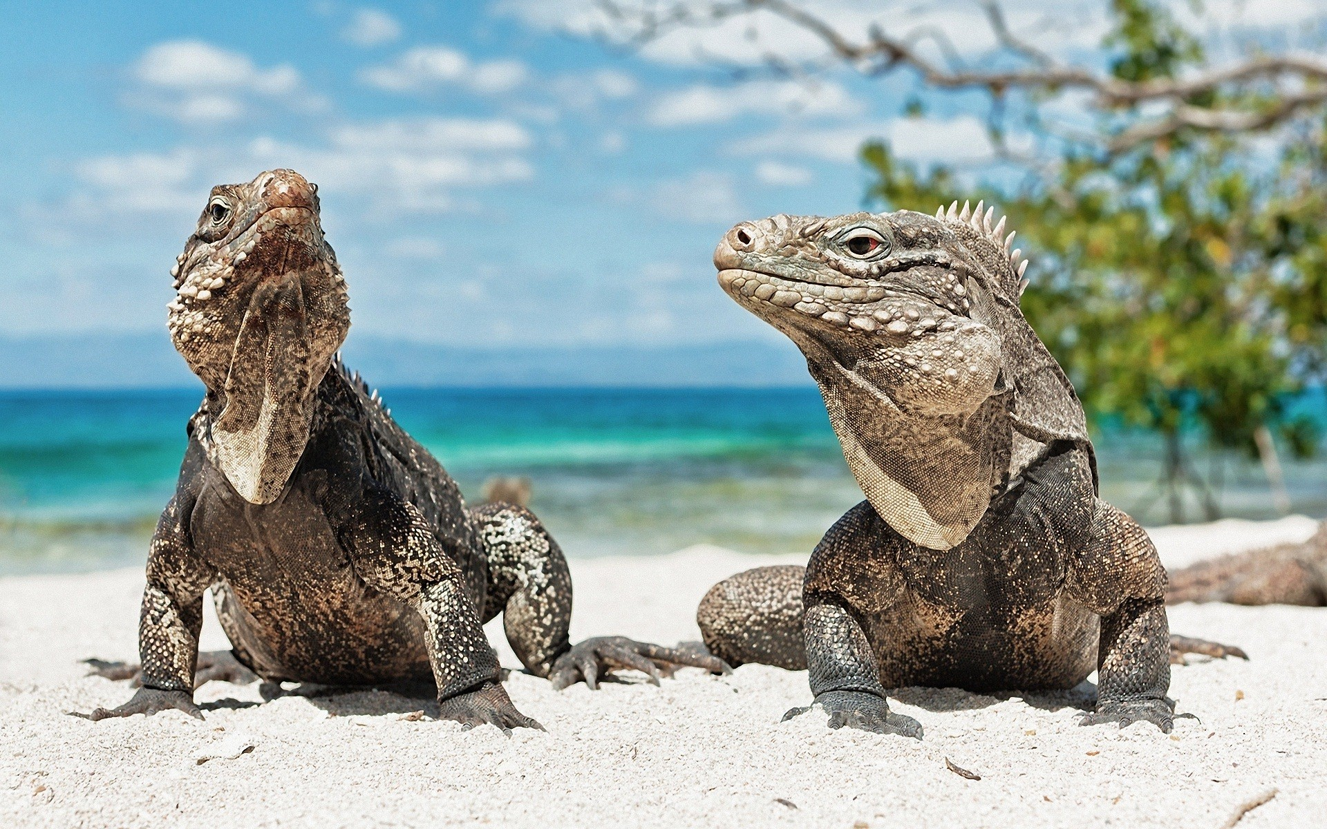 Iguana HD Wallpapers images High Definition   All HD Wallpapers 1920x1200