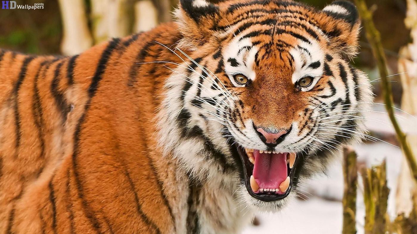 Tiger Hd Wallpaper - WallpaperSafari