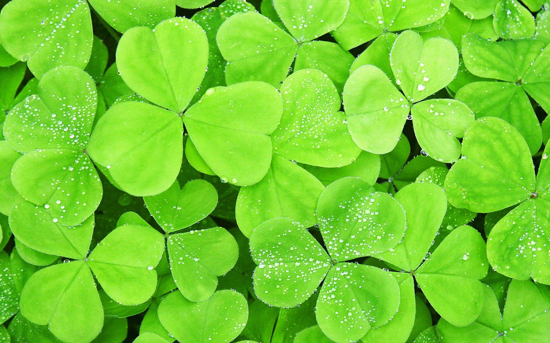 Download the Dew on Clovers Wallpaper Dew on Clovers 1920x1200